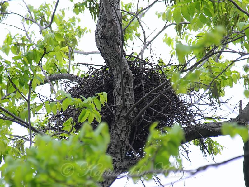 Cooper Hawk Nest