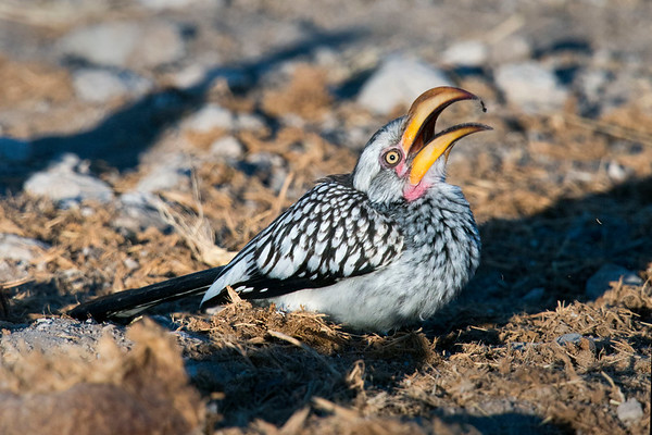 Northern Yellow-billed Hornbill Snacktime