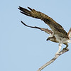 Eastern Osprey, Fish Hawk, The Spit, Gold Coast. Qld.