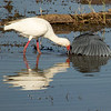 Spoonbill and Black Heron