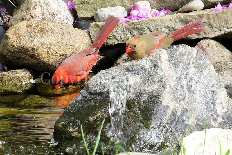 Cardinalis cardinalis – Northern cardinals - drinking in pond 1
