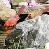 Cardinalis cardinalis – Northern cardinals - drinking in pond 1