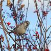 Passer domesticus – House sparrow 11