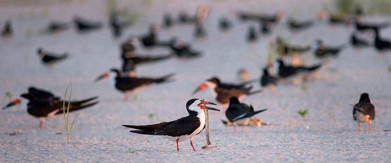 Black Skimmer with Fish #1