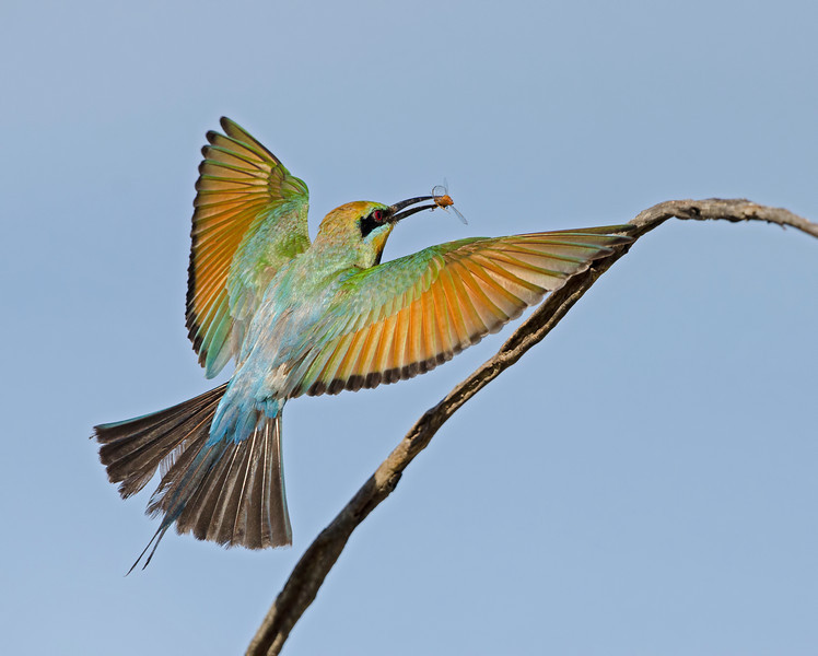 Rainbow Bee-eater, Federation Walk, Gold Coast, Queensland.
