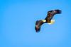 Bald Eagle, Haliaeetus leucocephalus