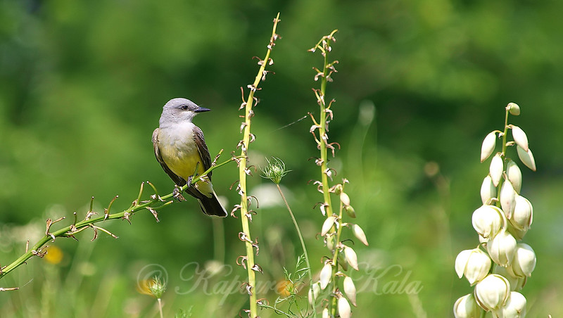 Western Kingbird Looking For A Snack