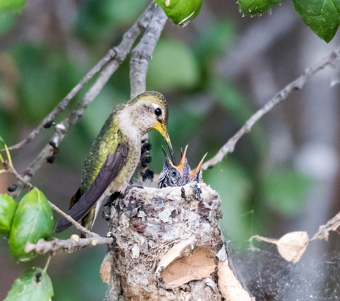 Anna's Hummingbird feeding her 2 chicks.