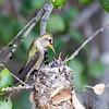 Anna's Hummingbird feeding her 2 chicks.
