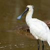 Royal Spoonbill, Schuster Park, Tallebudgeraba Creek, Burleigh Heads, Queensland.