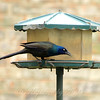 Colorful Common Grackle