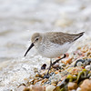 A Dunlin looks for dinner amid the spray at high tide on a bitter cold winter day.