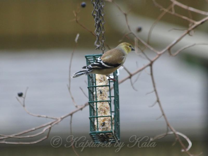 Winter Goldfinch View 1