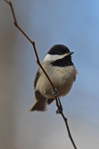 Chickadee Rests on a Branch