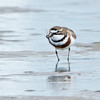 Double-banded Plover, Unnamed Island, The Broadwater, Gold Coast, QLD.