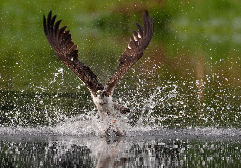 "An Osprey ""nails"" a rainbow trout!"