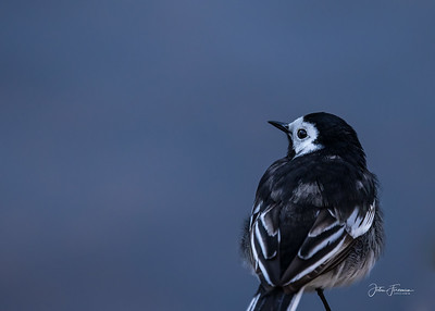 Pied Wagtail, Hampshire