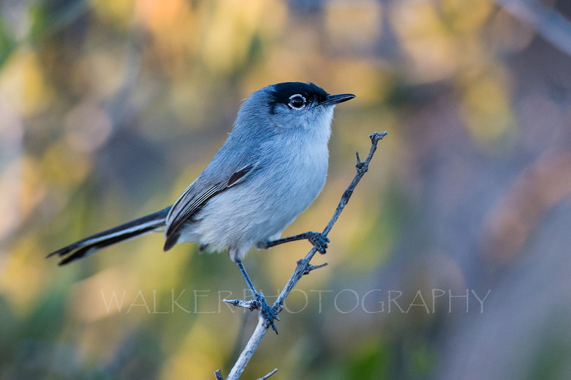 Black Tailed Gnatcatcher