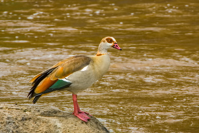 Egyptian Goose, Kenya, Africa.