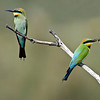 2 Rainbow Bee Eaters,<br /> Gold Coast Spit,<br /> Queensland