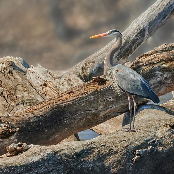 Blue Heron Standing on Driftwood