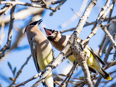 Waxwing Squabble