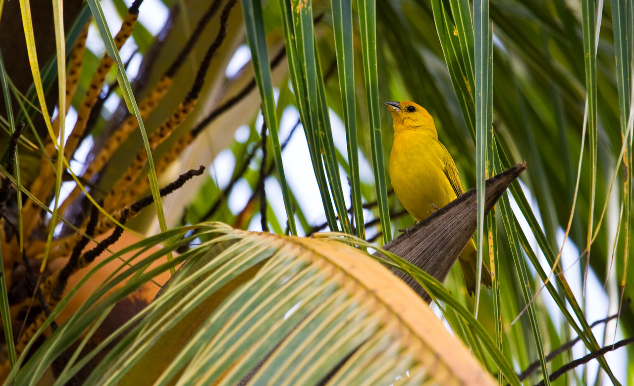 All the trees in the Los Llanos are FILLED with birds - the whole place is an ornithologist's dream.  Capturing them on camera isn't quite so easy, however.<br /> <br /> I don't know what this yellow bugger is, but I sure like his perch and the way the photo came together with the palm leaves surrounding him.<br /> <br /> Location: Los Llanos, Venezuela<br /> <br /> Lens used: Canon 100-400mm f4.5-5.6 IS