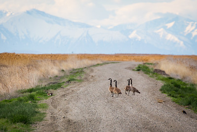 Four Geese on a Stroll