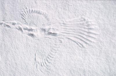 Snow landing , Fågel landning i snö