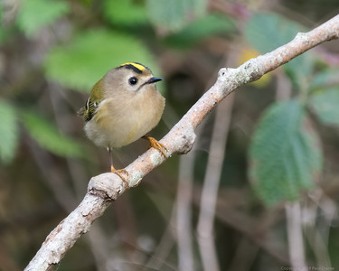 Goldcrest at Woolhampton 2 - 11th November2019