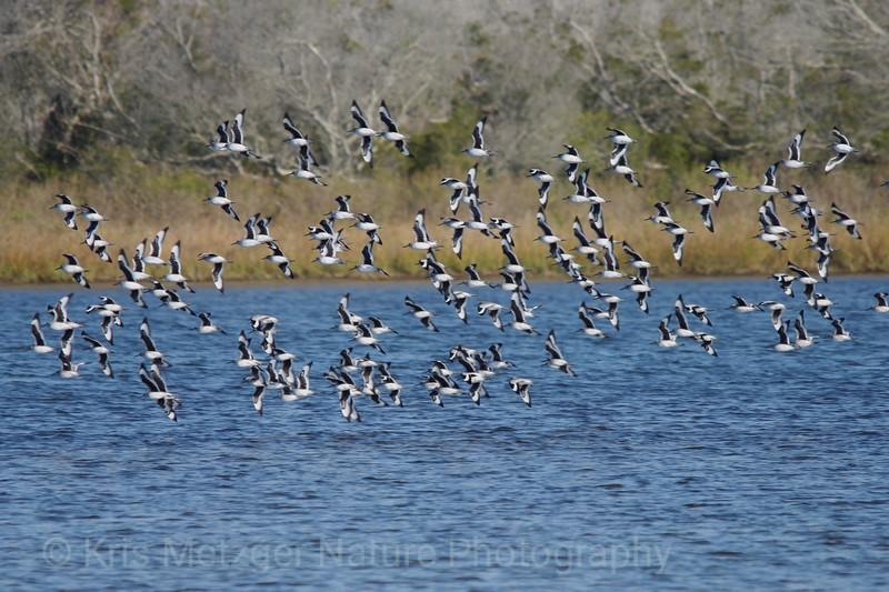 Willet (Tringa semipalmata), flock in flight.  Chincoteague National Wildlife Refuge, VA 11/2013