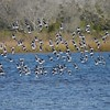 Willet (Tringa semipalmata), flock in flight.  Chincoteague National Wildlife Refuge, VA 11/2013