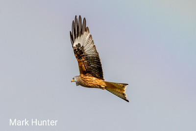 Red kite fly by
