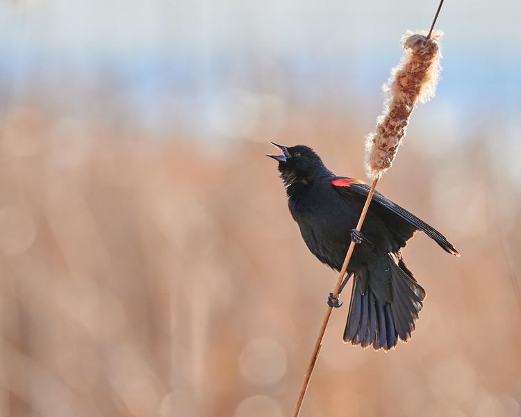 Red-winged Blackbird Calling