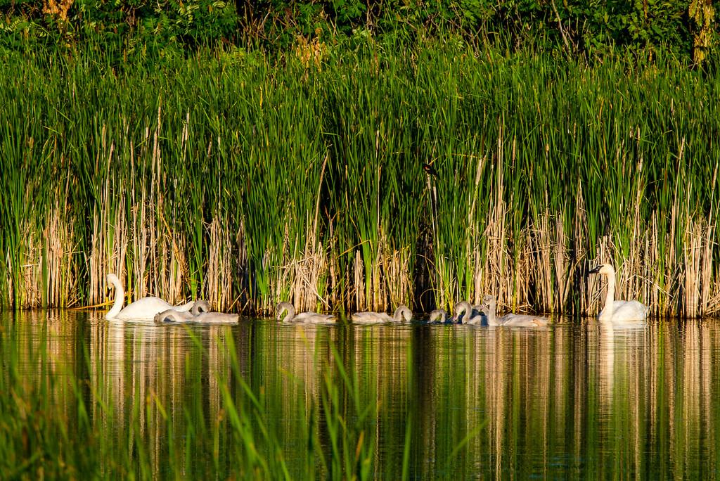 Trumpeter Swan, Cygnus buccinator
