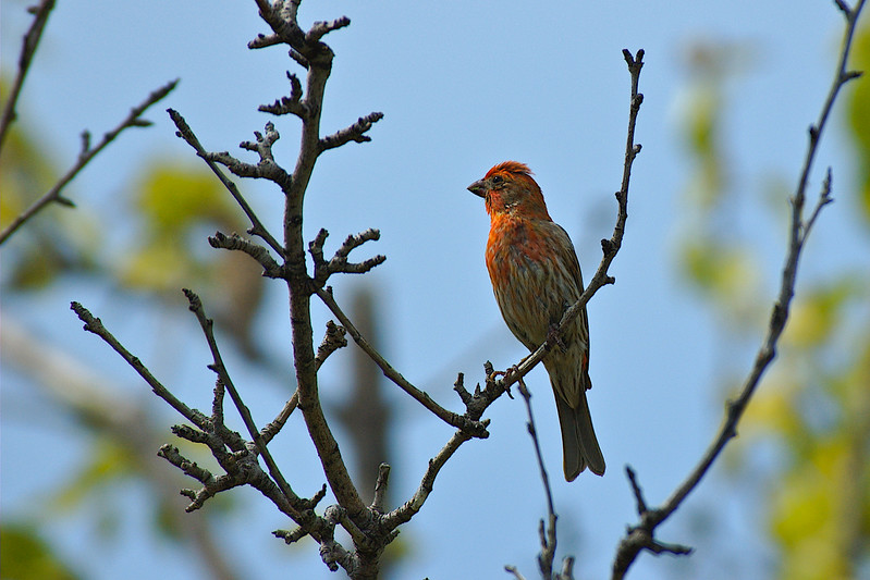 House Finch in the back yard
