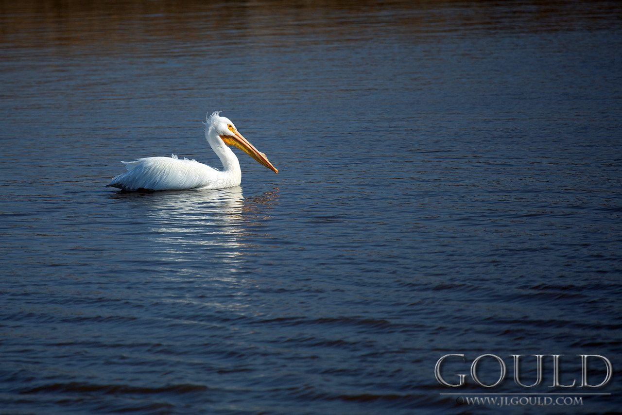 The White Pelican