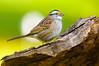 White-throated Sparrow, Zonotrichia albicollis