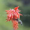 Calypte anna – Anna's hummingbird 1