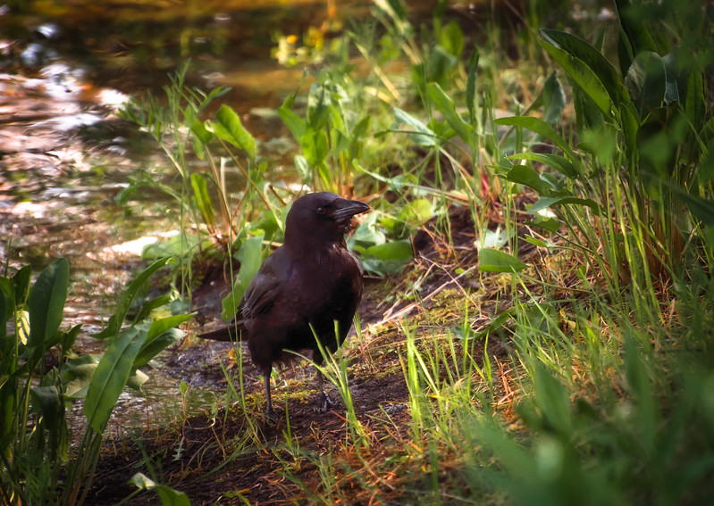 Crow In Grass