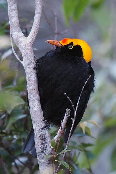 Regent Bowerbird (male) #1