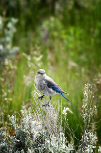 Female Western Mountain Bluebird in Sagebrush
