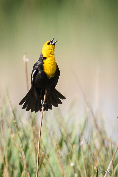 Yellow-headed Blackbird Singing