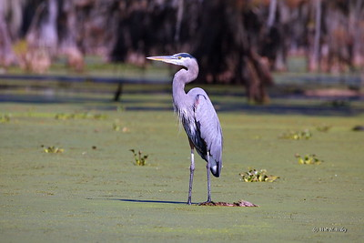 Great Blue Heron in Louisiana