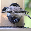 Molting Chickadee View 2