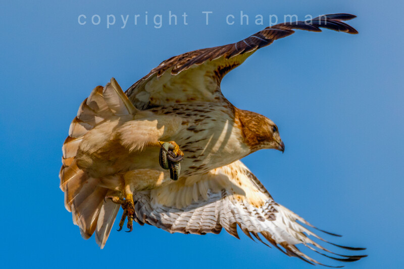 Hawk with Colied Snake