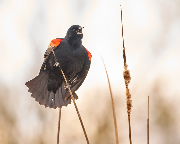 Red-winged Blackbird Claims His Spot