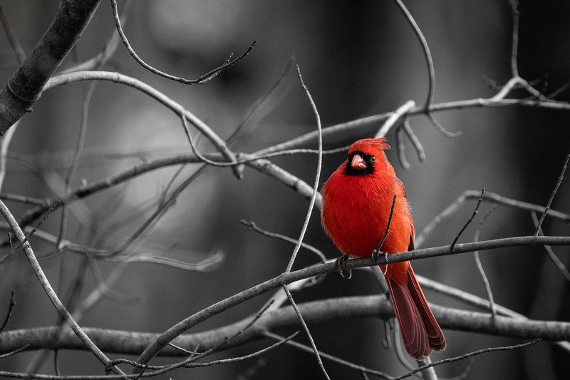 Male Northern Cardinal at Nottoway Park