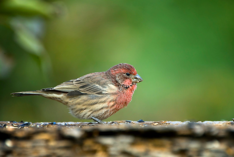 Purple Finch - Manitoba