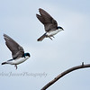 Tree Swallows coming in for a landing.